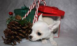 PUPPY LOVE There is no Greater Love!      We only sell CANADIAN KENNEL CLUB .CKC registered        Pure Breed Apple Head Chihuahuas.        Parents are on site and are CKC registered.      All our Puppies comes with first shots, de-wormed, health