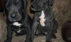 4 Great Dane Puppies will be ready to go just in time for Christmas (8 weeks) raised in are home with both parents on site raised with lots of attention and around kids and other animals there is a $200 deposit to hold your pick Call 705-848-4398 :D