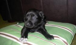 Hello! We have 1 pure bred Labrador Retriever puppiy left of our seven! There is now ONE of them looking to go to a good home by mid December. Our Purebred Yellow Labrador Maggie gave birth to 6 Black Labs and 1 Yellow Lab. Her mate Rocky is a purebred