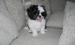Looking for the perfect pup? Tea Cup Shih- Tzus' are between 8-10 pounds. They don't shed, are hypoallergenic, easily trained, are great with kids and require minimal exercise. If your looking to find a pup for Christmas look no further. These 8 week old