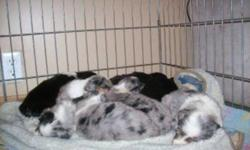 MINIATURE AUSTRALIAN SHEPPARD PUPPIES REGISTERED CHAMPION LINES   We have a few puppies for sale *black tri female *black tri male *blue merle male *black bi male   You are more then welcome to come and visit the puppies The puppies come up to date on