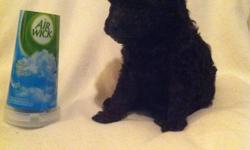 Purebred addorable healthy little boy.  One left Mommy is pure white and daddy pure black, both are tiny poodles.  He's a real gem and needs a loving home.  He has been de-wormed and ready for a new bed. Barrie $475.00