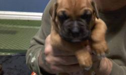 Boxer puppies for sale will be ready between January 21st and feb 4th purebred mother and father mother on sight pictures of father attached as well as mother.  deposits required 1 female and 4 males are left all eyes are open now.   tails docked first