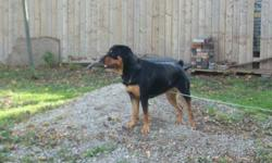 Keira is a 13 month old very large purebred german rott. Very active, and unfortunetly I do not have the room she needs.  Used to other pets and children (I have a 3 year old son), trained in basic commands, but you must be firm.  Will need a lot of time