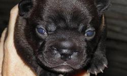 Just in time for Christmas! Beautiful Black Brindle Female / White Diamond Chest - Born On October 12. She has a beautiful loving personality and is very laid back. Both parents CKC Registered. Father is heavy weight, Mother is smaller, and both are black