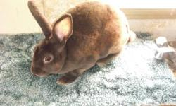 I have 4 mini rex boys for sale,their parents are from Beth Collins who is #2 in mini rexes. Their colours are;BrokenLilac,Lilac,& Cocolate. The last 3 pics their parents.