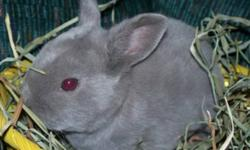 Great Christmas Gift!! MINI REX BUNNIES   We have the following Purebred Mini Rex Bunnies available for sale:     1 - Broken Chocolate Buck 1 - White Buck - Sold PPU 1 - Lilac Doe (the two bucks could be purchased together as a bonded pair) Born:  Aug.