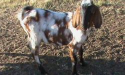 I have 5 purebred nubian bucks, would like $300 for them or am willing to trade for boar, alpine or nubian does.    Please call   306-365-2908, no emails please.   brad