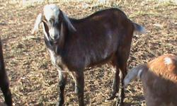I have 5 purebred nubian bucks for sale! They were all born in June 2010. I am selling for 300 or willing to trade for nubian, alpine, or boar does. Please contact me by phone only.  306-365-2908   Brad