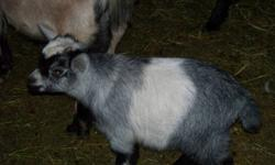 I have several pygmy goats for sale.  All are friendly, variety of colours.  These babies have all been handled by children and are easy to handle.  Ready for new homes.  Males are all in tact but can be neutered.  First three pictures are males, rest are