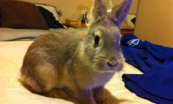 I have a bunny I am selling, for 25$ with a cage, she is approximately a year old. Half lionhead/ half dwarf bunny, very cute, friendly, and active. She needs a home where she has room to run around and play. She is also litter trained. Message if