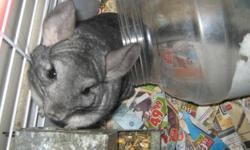 Male Netherland Dwarf rabbit,10 months old. intact, cage, water bottles,food dish. Food  for $50.00   Male Chinchilla,1yr old est. plus cage and accessories, dusting powder, food water bottle for $50.00   Note: the animals are in Merritt. I am out of town