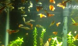 I have guppies for sale, which are medium to large sized. They are mostly orange with random patterns on them, as shown in the pictures Pick from male or female $1 each Pickup near McCowan and 16th Avenue If interested, text 647 891 6620 or email thanks