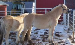 For Sale  - 3 (2011) Foals 2 Colts and 1 Filly                 - 3 yearling colts 2 geldings and 1 Stud                 - 1 Two year old gelding                 - 1 Five year old gelding These boys are Registered and Micro Chipped. Moms can be seen on my