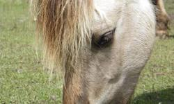 Turtle Mountain Angie Angie is a 3 year old filly. She is a grey dun with very dark dorsal and zebra stripes. She will mature to 14 - 14.1 hands. She is broke to drive, and would make a beautiful team with Turtle Mountain Dale, who is also broke to drive