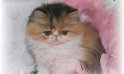 Registered Persian/Exotic Kitten available.  Now 12 wks old and READY TO GO!!  She has been vet checked and vaccinated twice.  Only one beautiful long hair Calico female left from a litter of six.  Sire is a registered Exotic Shorthair (Persian with
