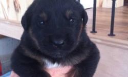 Blk/Tan,7 males,3 females, Phone calls only please, 613-924-0229 This ad was posted with the Kijiji Classifieds app.