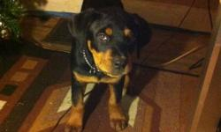 she is a great puppy looking for a home. she is 13 weeks and is a full breed rottie , she comes with all her toys and vet papers ,shes had all her shots and her tail is snipped . 550 o.b.o This ad was posted with the Kijiji Classifieds app.