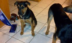 9 month old Rottweiller / Shephard - 1 female - house trained and becoming good watch dogs.  Good with kids, and fully house trained.  Moving into a condo for work and it is not appropriate for her - she presently has a 10 acre land to run.  If interested