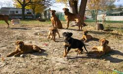 4 Botweiller Puppies - 1 male 3 female - 15 weeks old (1 is Black and Tan female) Very sweet, even tempered dogs. Parents on site. Don't miss out on having one of these gentle souls as part of your family. Call 519-346-1089 (no messages please) or