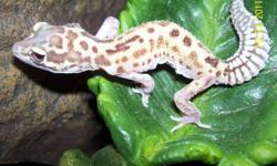 ruby eye'd raptor gecko for sale includes every thing for her great pet lookng for a good home for her amazing gecko!!