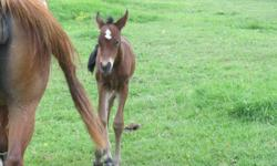 Nasya (hebrew for gift of god) is being offered or sale. She is a beautiful Bay filly, with a big white star. She is a foal that defied all odds and her presence in this world is a chance in a lifetime. Her mom was attacked by a bear and nearly died,