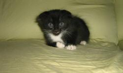 Ready to go for Christmas!! Only one kitten left. Our Tonkinese x Scottish Fold had her very first litter. The father is a Ragdoll x Munchkin and this is his fourth litter. Both parents are on-site, healthy and up to date with vaccinations. Both the
