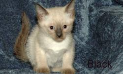 $300.00/kitten.  Cash and carry, first come, first choice.  $100 down will hold kitten of your choice if you buy before they are 8 weeks old.  We do not release kittens before 8 weeks ? no exceptions.  We accept credit cards through PayPal. The kittens