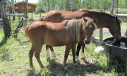 Ryder is a two year old, freindly and sweet welsh gelding. He is good with the farrier, has been very well cared for and will be ready to start this spring. He would make a really wonderful prospect for any thing you chose to do with him. To date he has