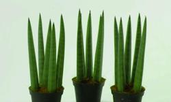 Sansevieria cylindrica, also known as the cylindrical snake plant, African spear or spear sansevieria, is a succulent plant native to Angola. Sansevieria cylindrica has striped, round leaves that are smooth and a green-gray color