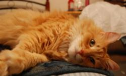 Breed: Domestic Long Hair - orange and white   Age: Senior   Sex: M   Size: M Neutered, Vaccinated, DOB August 2002. Chewy is extremely affectionate and friendly towards people. He loves to watch TV and snuggle in close. He also loves to be brushed, which