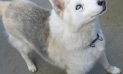 Breed: Husky   Age: Senior   Sex: M   Size: L Makwa is an older boy and is very laid back. He loves to walk and play. He does like other dogs. For futher information about Makwa's *special needs* please contact the Shelter and speak with Frank.   View