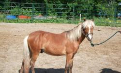 Yearling colt,,10h,,has been gelded and wolf teeth removed   Personality of a horse in pony size.  Gets along with other horses all ages   great to work with,for grooming, feet,clips,bathes,ties and loads well   Looking to find loving home before winter