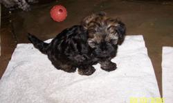 Shih-Poo Puppy's (2) FOR SALE Beautiful playful puppies Males/Females available. Multiple Colors, Father Toy Poodle (registered CKC) Mother Shih-Tzu -Both Toy Size; Currently 8 weeks old- Shots and Vet Checked, Dewormed and First Shots. Care Package