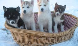 Purebred Siberian Husky puppies for sale to a good home. Kolo's Kennel has been breeding top quality Siberian Huskies for over 23 years. We have four puppies currently available. One black & white female with blue eyes; one red & white male with blue