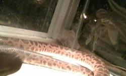 DUE TO NEW PROJECTS I AM DOWN SIZING MY COLLECTION AND AM SELLING MY MALE SPOTTED PYTHON. HE'S VERY TAME AND HANDLED EVERY DAY, WOULD MAKE AN EXCELLENT SNAKE FOR A BEGINNER. HIS COLORS ARE VIBRANT AND HE EATS LIKE A CHAMP. I AM SEEKING BEST OFFER,