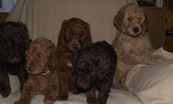 We have Standard poodle puppies!!!    FREE DELIVERY to the Greater Toronto this Saturday, January 29th.   We at Woodworks Standard Poodles are super excited!   All pups have a clean bill of health and ready to head out to their new families!   Our Red