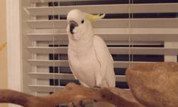We are looking to rehome our 6 year old female Sulfur Cockatoo, 'Cleo'. She is affectionate, dances, and talks. Eats pellets and a variety of people foods.     We prefer to sell her with her cage and playstand for a very resonable price of $1750 (firm).
