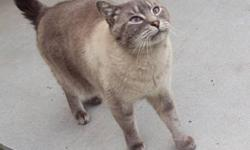Sweet, good indoor/outdoor, Siamese cross, neutered male cat, 4 years old, free to good home due to allergies