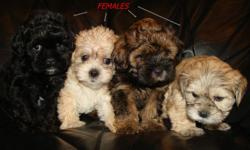 Our adorable pups are a mixed breed between a Shih Tzu (Dad) and a Shih Tzu/Poodle (Mom). What you get is a great non-shedding small dog with the wonderful traits of two great dogs. Pups should mature to about 12 lbs. Pups are well socialized and they are