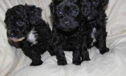 TINY TINY TINY  Will mature 5-7lbs depending on the puppy you choose!!! NonShedding and Hypoallergenic Cute as buttons and ready for their new homes now. These little guys are very well socialized and are used to children and other animals. They are very