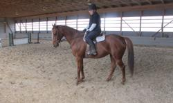 """""""Royale"""" is a 9 year old, 16 hand flashy chestnut gelding. He has a terrific trot and canter and negotiates trotting poles with ease. He can w/t/c and has jumped small """"x"""" and verticles. Royale was shown lightly before his present owner bought him but has"""