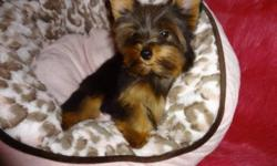 Tiny toy yorkies.  Ready to go now with a very loving family 416-833-9592.  Male and female available.  Dewormed, vet checked, 1st shot, non shedding, hypoallergenic.  Will mature to be 5-6lbs fully grown.  100% written health guarantee.   For more info: