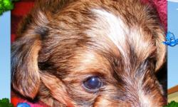 "NEW REDUCED PRICE!  We have male Purebred ""Yorkies"" (Yorkshire Terriers) &  one""Morky"" He is the tan one in pictures below (Yorkshire Terrier with/ Maltese for coloration) teacup & tiny toy puppies available for Christmas delivery.    These are"