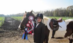 14.2 hh Tri-Coloured Paint gelding sadly offered for sale. This is one of the calmest, most easy-going, boom-proof, green horses that I have ever worked with. Broke in April 2010, he is loveable, kind and gentle, cross-ties, grooms, picks feet, trailers