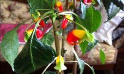 Still a few left. (3) a lovely easy to grow house plant. They sell fast. Bright filtered light ...no direct sunlite. Grows fast. Likes to be on the dry side. Hardy bloomer. Once plant starts to blossom it does not stop. One pots at $15 for sale. Few are