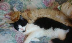 Very loving and affectionate kittens, Orange - Shorthaired male, Black and white - Longhaired female, both roughly 7 months old, siblings, they are very playful and cuddly and need a good home! FREE TO GO WITH THEM: 2 dishes water dispenser litterbox