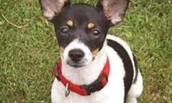 RAT TERRIER RESCUE CANADA receives a large number of pleas to help rat terriers in need, but we can only help when foster homes are available.  These healthy and often young rat terriers are  euthanized when space and time become an issue in the shelters.