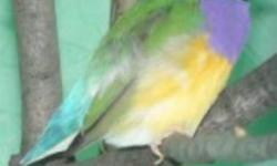 PIC#1--Male Gouldian Finche*** SOLD*** PIC#2-- Male Gouldian Finche S PACKAGE:The 2 Gouldian Finches With Cage (PIC#3) ***SOLD*** PIC#3---Only 3 left Brand New With Stand ***SOLD***Good for Small Birds, Budgies,Linnies,Parrotlets,Canaries,Finches,etc etc
