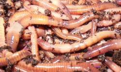 Selling red wigglers for vermicomposting, Worm Tea, Organic Fertilizer and even eating your green garbage. Only selling a small zip lock starter bag with a handful of worms, bedding, cocoons and vermicompost. Selling Red Wiggler Worms (Starter - pack) -